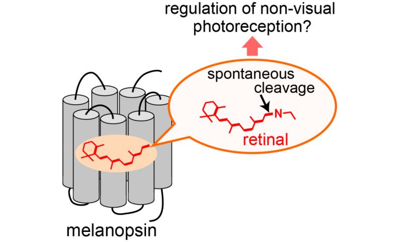 Molecular characteristics of mammalian melanopsins for non-visual photoreception