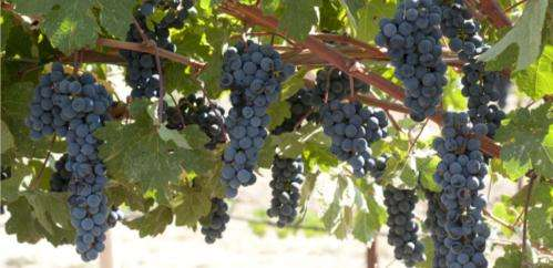 Molecular genetics ready to launch a golden age of winegrape breeding