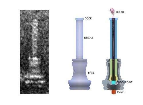 Molecular ruler sets bacterial needle length