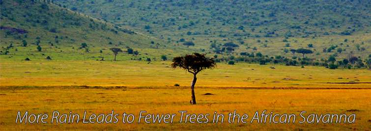 More rain leads to fewer trees in the African savanna