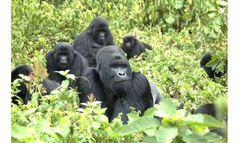 Mountain gorillas enter the genomic age