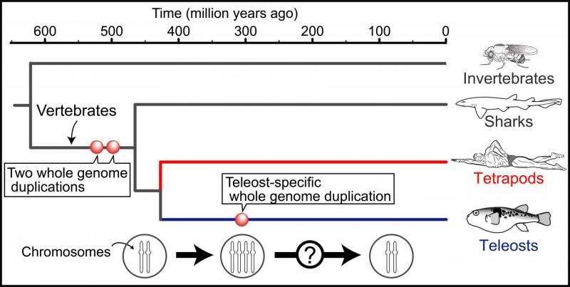 Mysteries of bony fish genome evolution