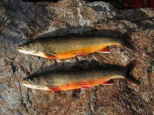 Native fish species under pressure  in the Engadine and Poschiavo