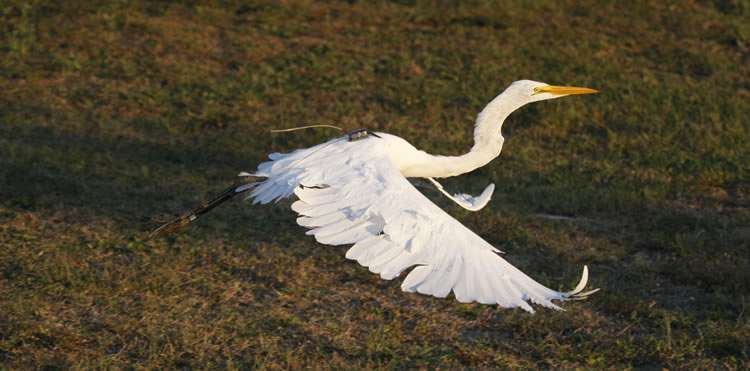 Natural wetlands still better than rice fields for egrets in southeast US