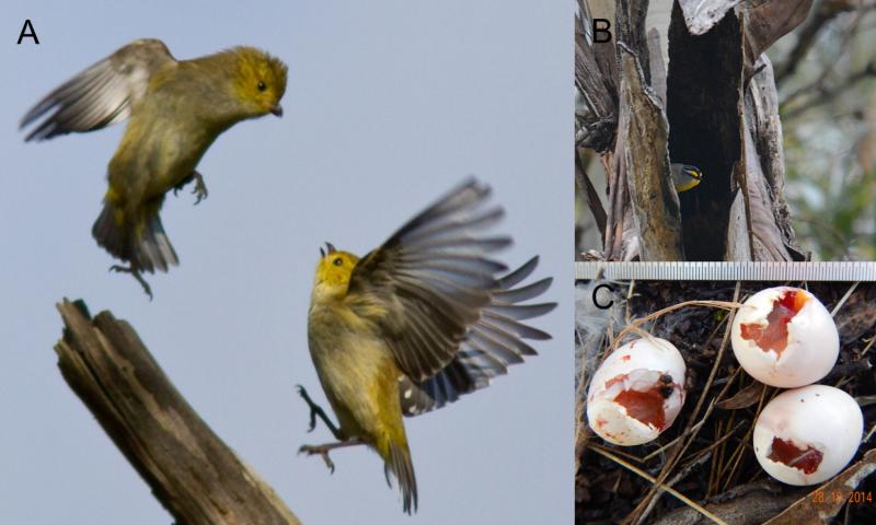 Nest cavity competition may threaten an endangered Tasmanian songbird