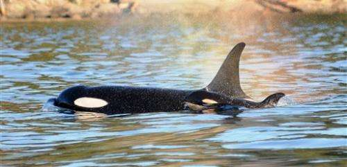 Newborn killer whale a good sign for imperiled pod