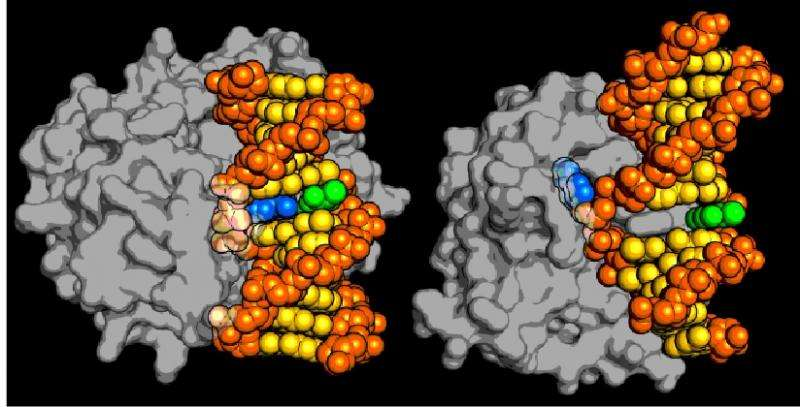 New class of DNA repair enzyme discovered