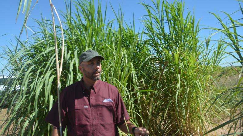 New dual-purpose bioenergy, forage crop set for release by AgriLife Research next year