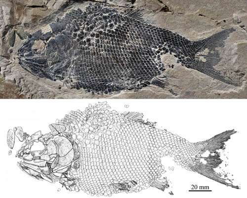 New ionoscopiform fish found from the Middle Triassic of Guizhou, China
