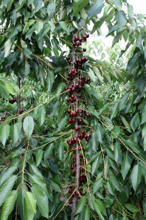 New training, ultra-high-density planting systems recommended for sweet cherry