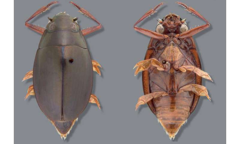 New whirligig beetle species discovered by University of New Mexico Ph.D. student