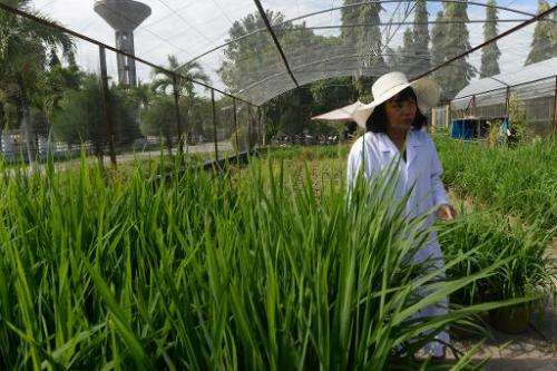 Nguyen Thi Lang walks among new rice varieties she is developing at the Vietnam Rice Research Institute in the southern Mekong d