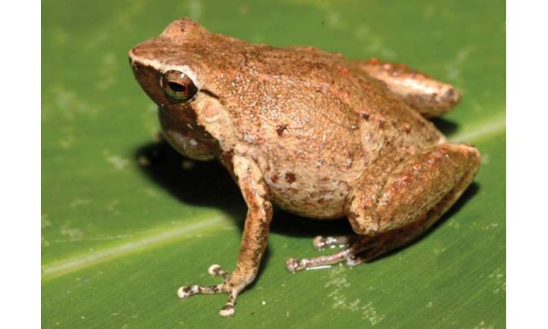 Night calls reveal two new rainforest arboreal frog species from western New Giunea
