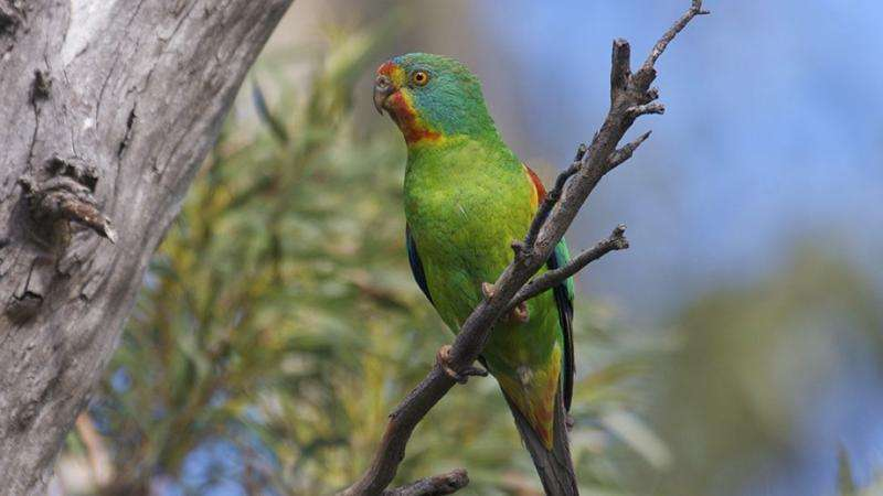 Nomadic swift parrot find the best food sources
