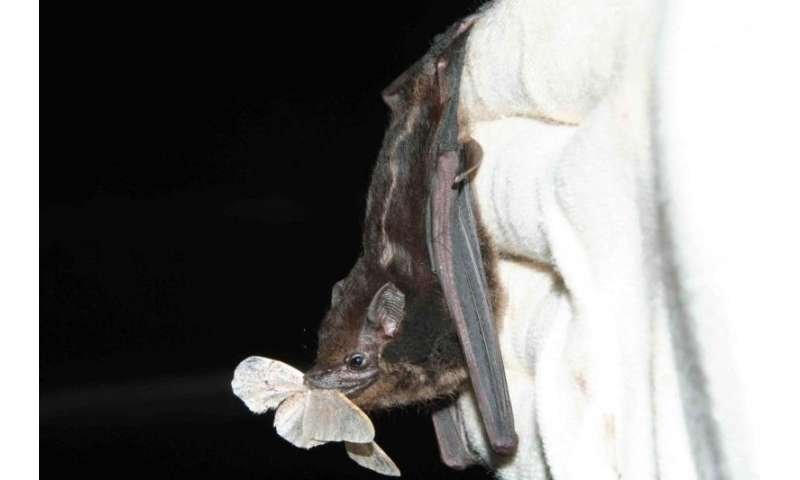 No need for sophisticated hunting techniques: Equatorial bats live the easy life