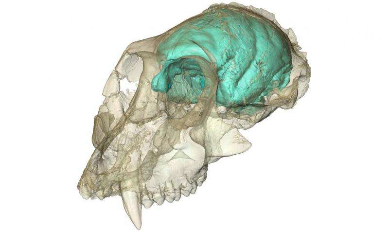 Old World monkey had tiny, complex brain