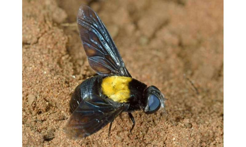 One new fly species, zero dead bodies: First insect description solely from photographs
