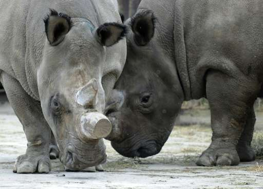 Only four white rhinos remain in the whole world - one in San Diego and three on the Ol Pejeta reserve in Kenya