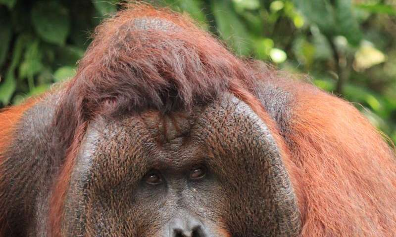 Orangutan females prefer dominant, cheek-padded males