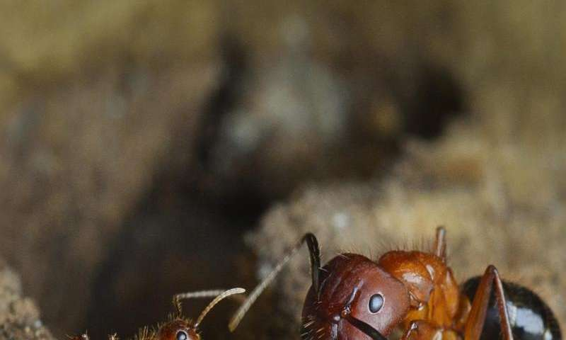 Penn-led team reprograms social behavior in carpenter ants using epigenetic drugs