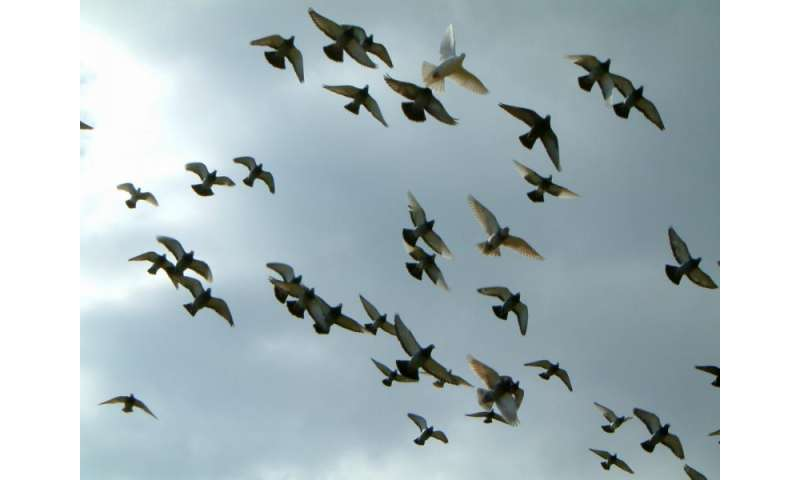 Pigeon 'chain of command' aids navigation