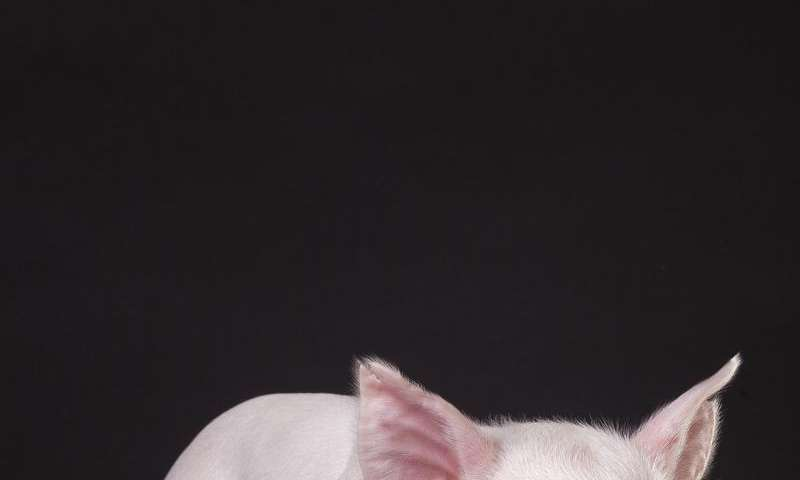 Pigs that are resistant to incurable disease developed at University of Missouri