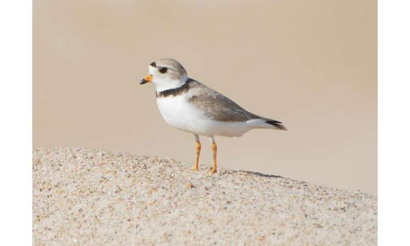 Piping plovers losing breeding habitat to wetland drainage