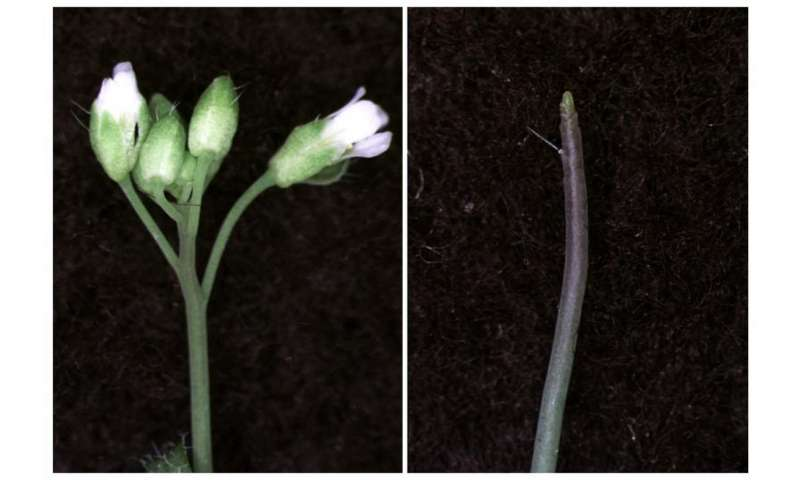 Plant hormone 'switch' unravels chromatin to form flowers, penn biologists find