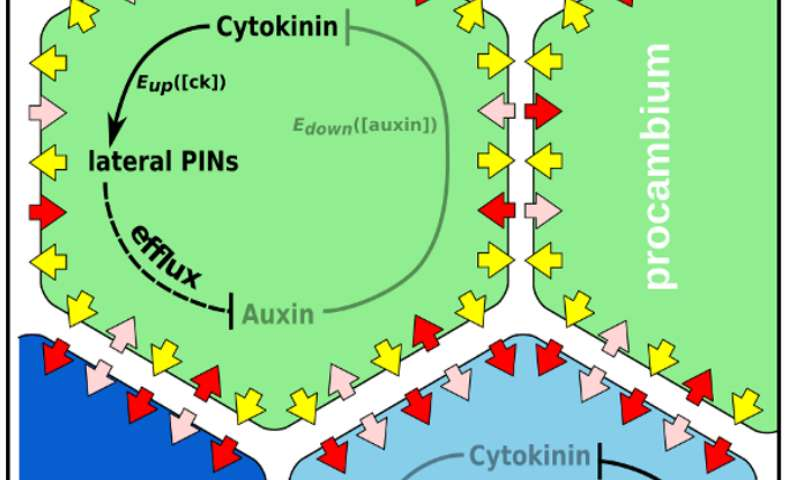 Plant regulatory network simulations reveal a mystery in cytokinin patterning