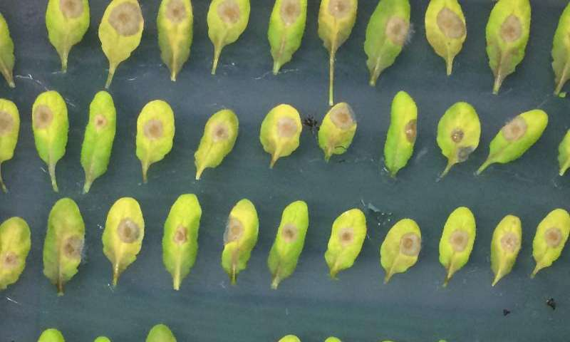 Plants use a molecular clock to predict when they'll be infected