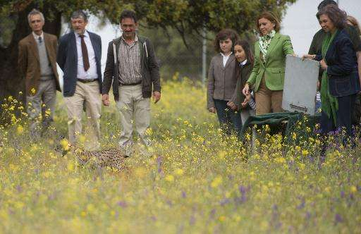 President of Castilla La Mancha Maria Dolores de Cospedal (3R) and Spanish Queen Sofia (R) release an Iberian lynx called Lava n
