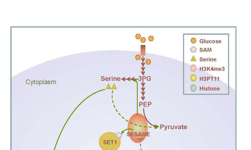 Protein complex links cellular metabolism to gene expression