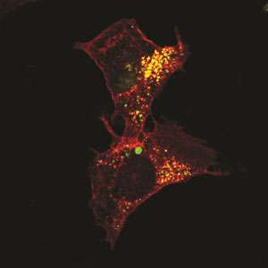 Protein induces self-destruction in cancer cells