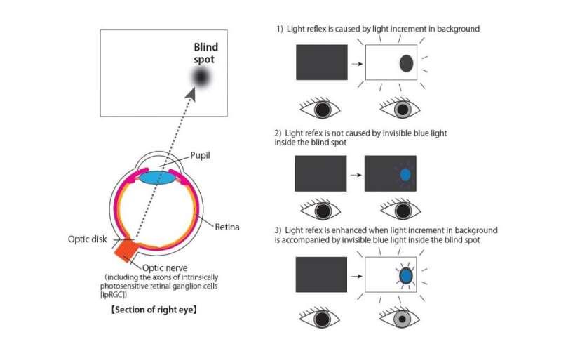 Pupillary reflex enhanced by light inside blind spot