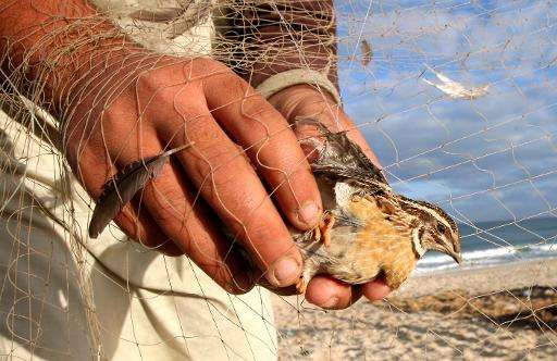 Quail and other birds are traditionally shot and killed qas they migrate through Malta