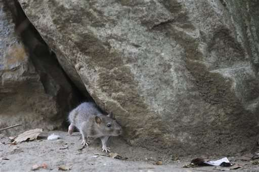 Rat race: With complaints on rise, NYC redoubles efforts