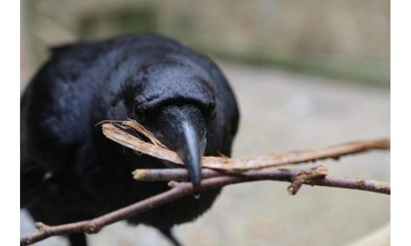Ravens cooperate -- but not with just anyone