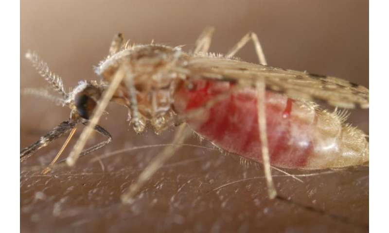 Repeat infection with malaria parasites might make mosquitoes more dangerous
