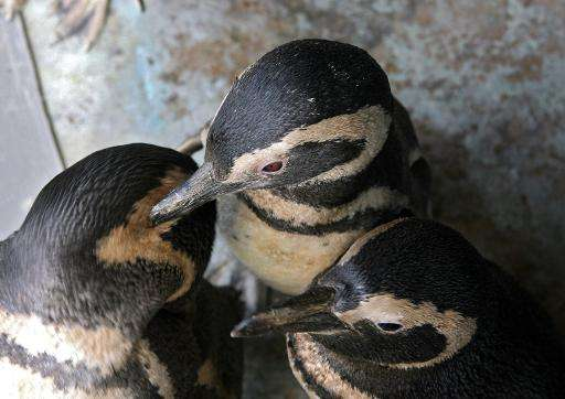 Rescued penguins wait to be fed on July 28, 2007, in the department Maldonado, Uruguay