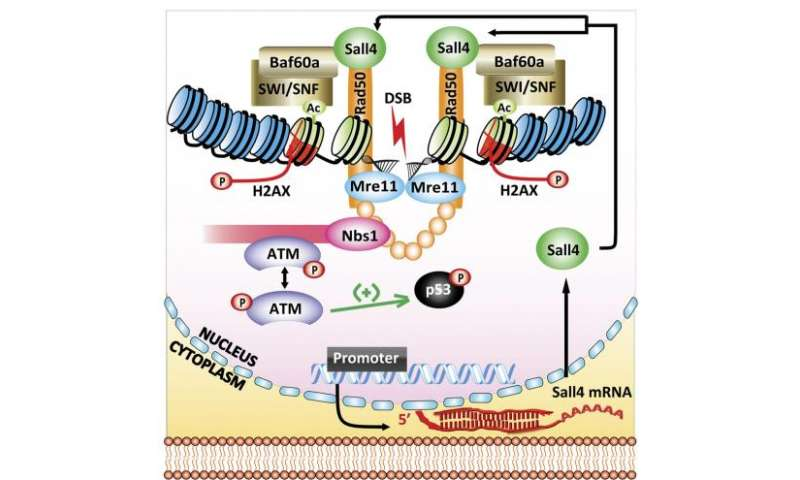 Sall4 is required for DNA repair in stem cells