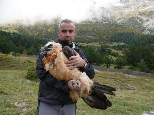Satellite telemetry tracks bearded vultures