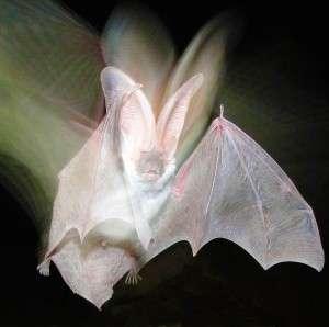 Scientists measure bat populations in post-wildfire habitats