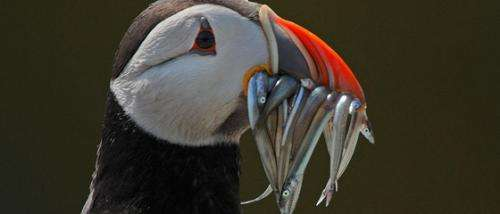 Scottish puffins found with plastic pellets in their stomachs