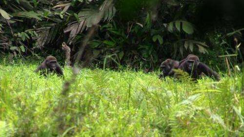 Screengrab from footage shot by French photographer and founder of the Bambidie Gorilla Project Max Hurdebourcq shows gorillas i