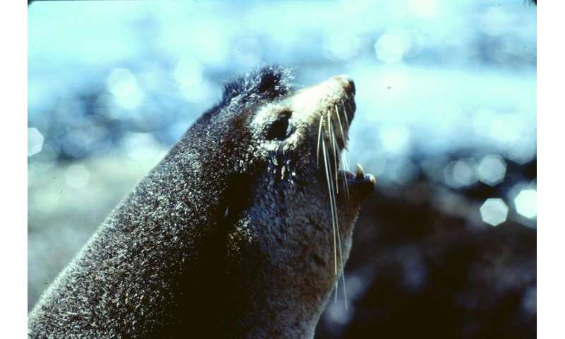 Seal pups listen for long distance calls to locate their mothers