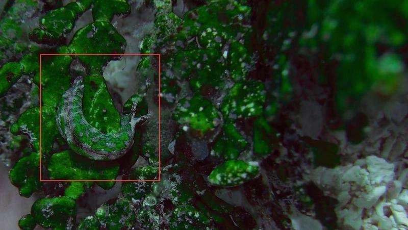 Sea slug sniffs out seaweed's chemicals, then stalks its prey