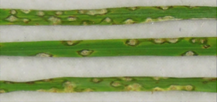 Secrets of a rice-killing fungal toxin