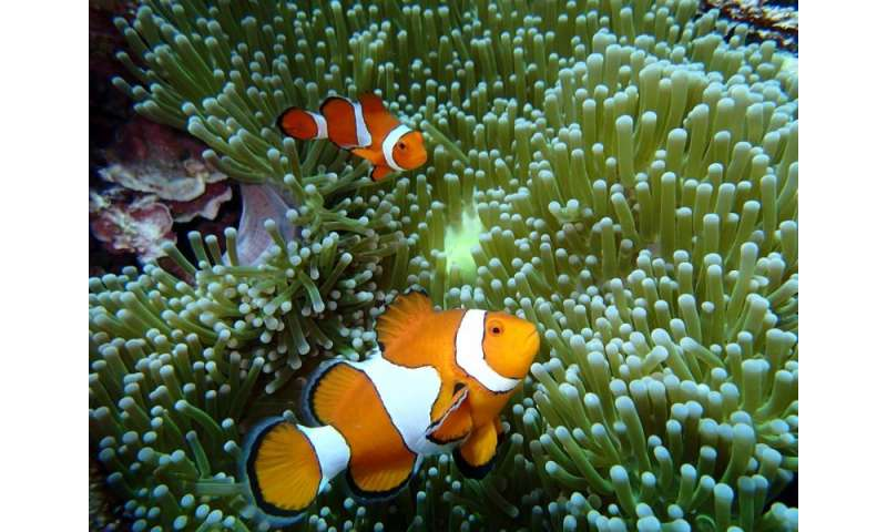 Sediment makes it harder for baby Nemo to breathe easy