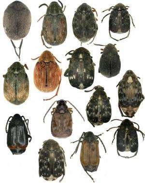 Seed beetle diversity in Xinjiang, China