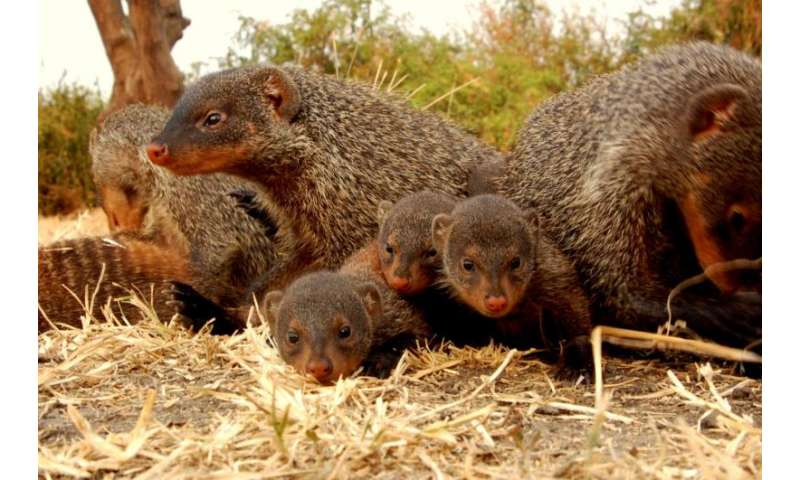 Selfishness lasts a lifetime, according to mongoose study